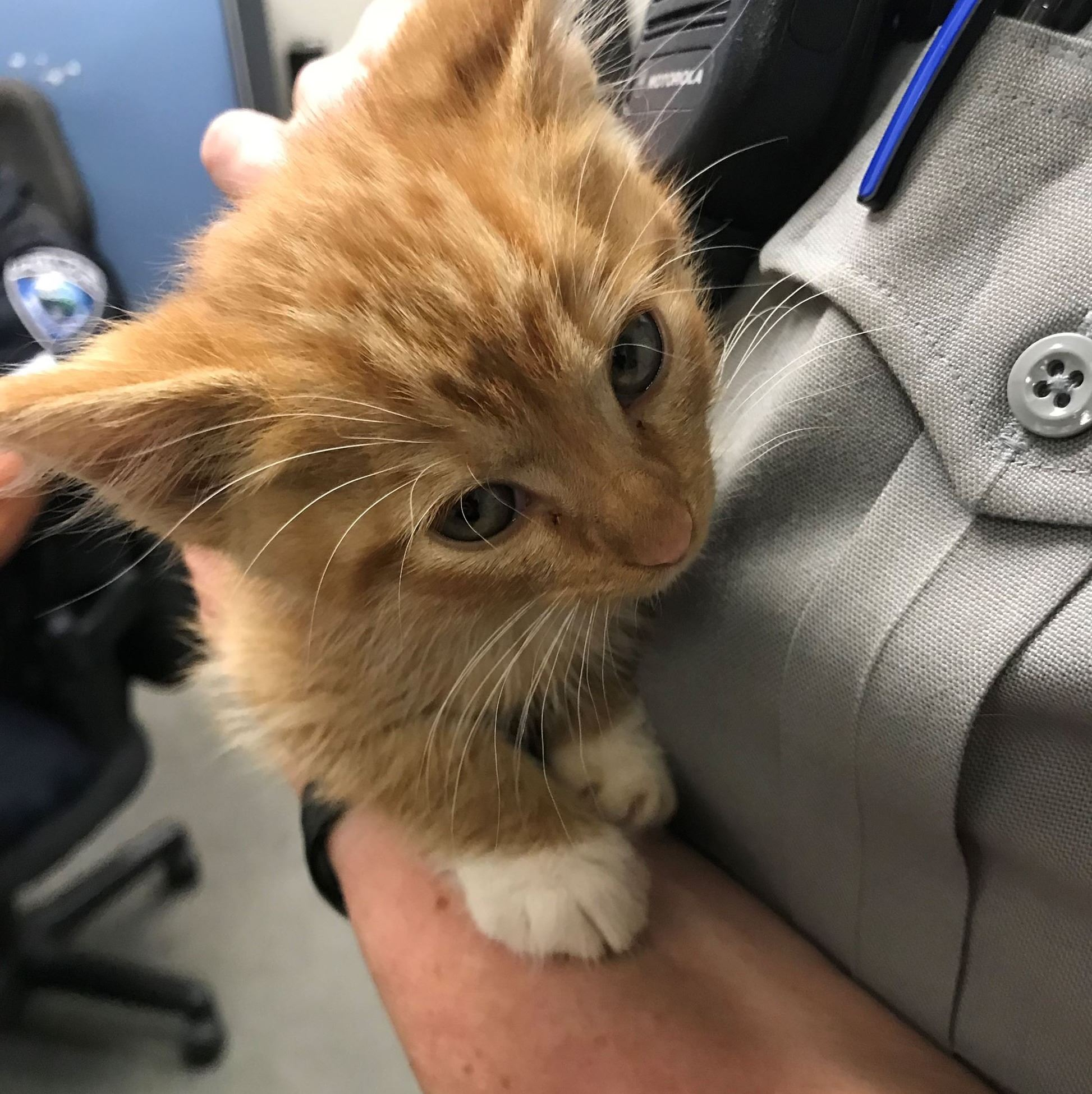 Orange kitten being held by animal control officer