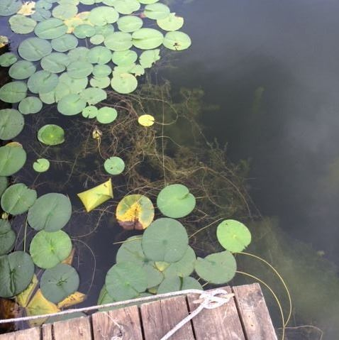 Invasive Eurasian water milfoil and fragrant water lilies near dock
