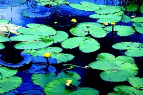 Native Yellow Pond Lily
